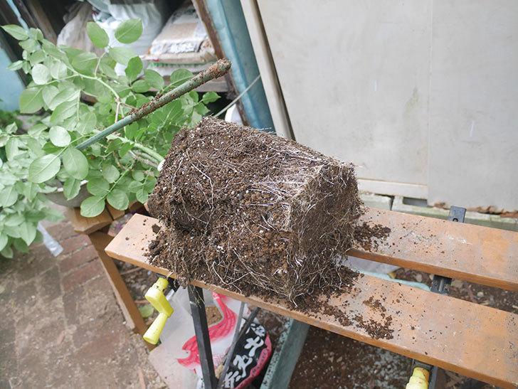 ギー・サヴォア(Guy Savoy)の大苗を懸崖鉢 10号に植え替えた。半ツルバラ。2021年-004.jpg