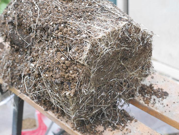 ギー・サヴォア(Guy Savoy)の大苗を懸崖鉢 10号に植え替えた。半ツルバラ。2021年-005.jpg