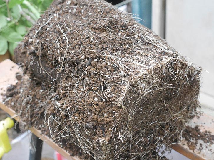 ギー・サヴォア(Guy Savoy)の大苗を懸崖鉢 10号に植え替えた。半ツルバラ。2021年-006.jpg