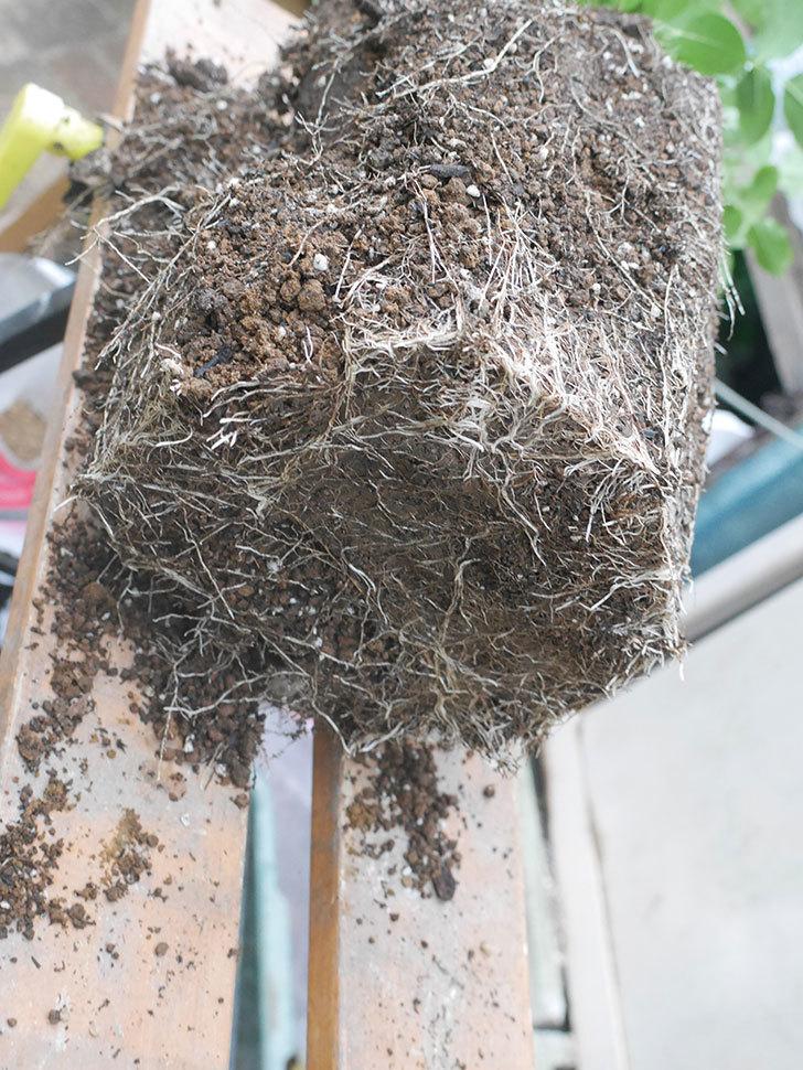 ギー・サヴォア(Guy Savoy)の大苗を懸崖鉢 10号に植え替えた。半ツルバラ。2021年-008.jpg