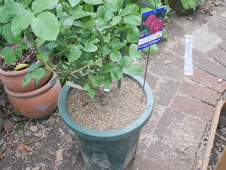 ギー・サヴォア(Guy Savoy)の大苗を懸崖鉢 10号に植え替えた。半ツルバラ。2021年-009.jpg