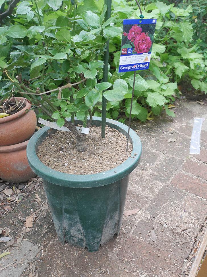 ギー・サヴォア(Guy Savoy)の大苗を懸崖鉢 10号に植え替えた。半ツルバラ。2021年-010.jpg