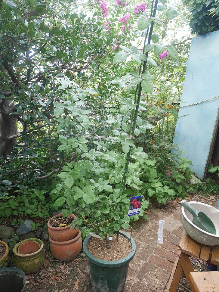 ギー・サヴォア(Guy Savoy)の大苗を懸崖鉢 10号に植え替えた。半ツルバラ。2021年-013.jpg
