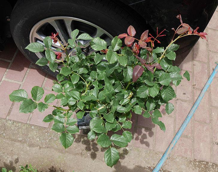 クイーン-オブ-ジ-エルブス(半ツルバラ)の大苗を楽天のバラの家で買った。2019年-2.jpg