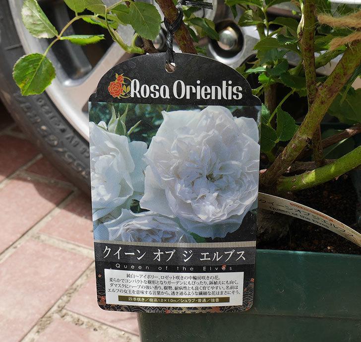 クイーン-オブ-ジ-エルブス(半ツルバラ)の大苗を楽天のバラの家で買った。2019年-3.jpg