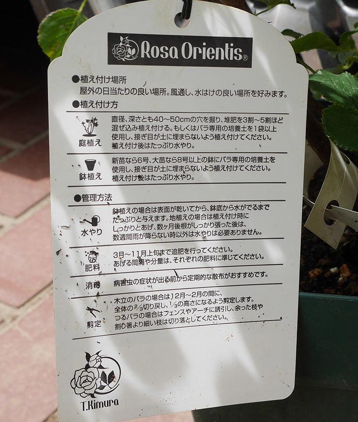 クイーン-オブ-ジ-エルブス(半ツルバラ)の大苗を楽天のバラの家で買った。2019年-4.jpg
