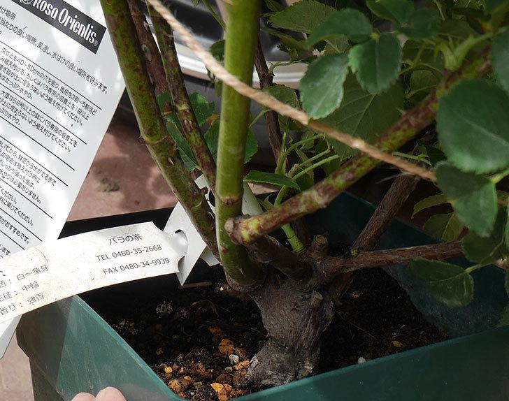 クイーン-オブ-ジ-エルブス(半ツルバラ)の大苗を楽天のバラの家で買った。2019年-5.jpg