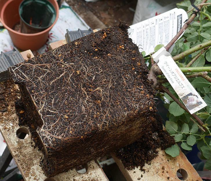 クイーン-オブ-ジ-エルブス(半ツルバラ)の大苗(鉢植え苗)を懸崖鉢10号に植えた。2019年-2.jpg