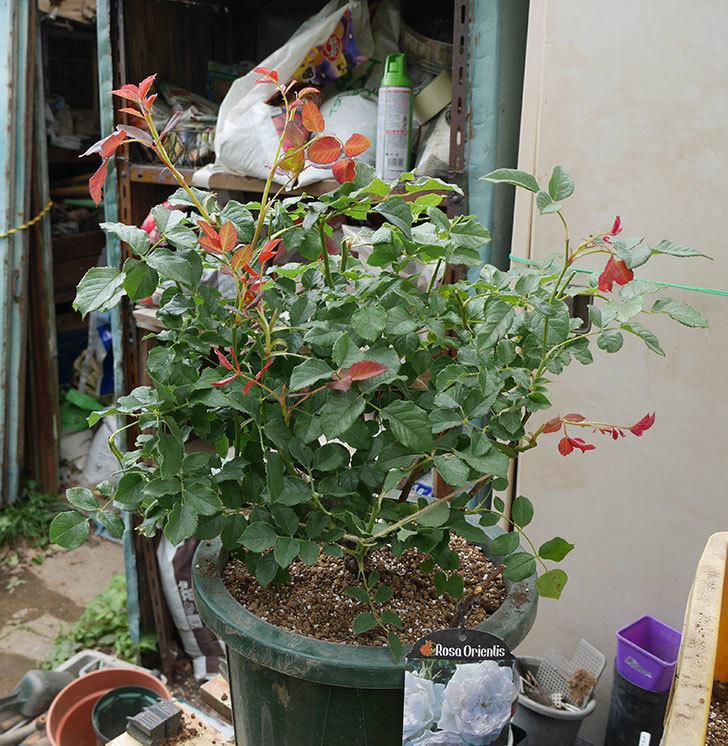 クイーン-オブ-ジ-エルブス(半ツルバラ)の大苗(鉢植え苗)を懸崖鉢10号に植えた。2019年-6.jpg