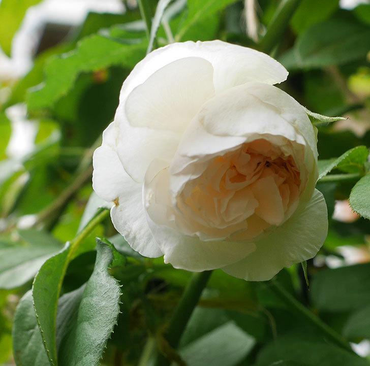 クイーン-オブ-ジ-エルブス(半ツルバラ)の秋花が咲いた。2019年-2.jpg