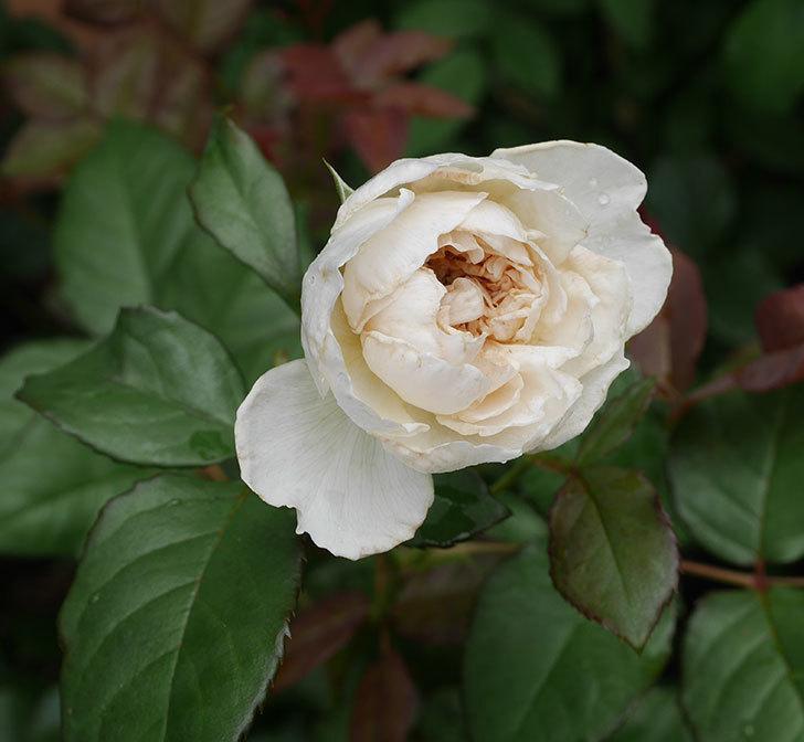 クイーン-オブ-ジ-エルブス(半ツルバラ)の花が咲いた。2019年-1.jpg