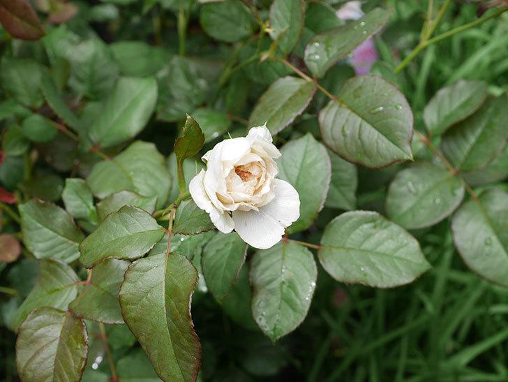 クイーン-オブ-ジ-エルブス(半ツルバラ)の花が咲いた。2019年-2.jpg