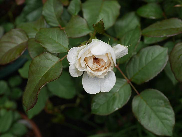 クイーン-オブ-ジ-エルブス(半ツルバラ)の花が咲いた。2019年-4.jpg