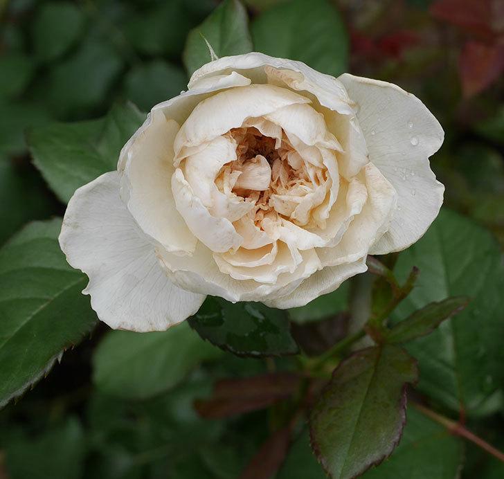 クイーン-オブ-ジ-エルブス(半ツルバラ)の花が咲いた。2019年-5.jpg