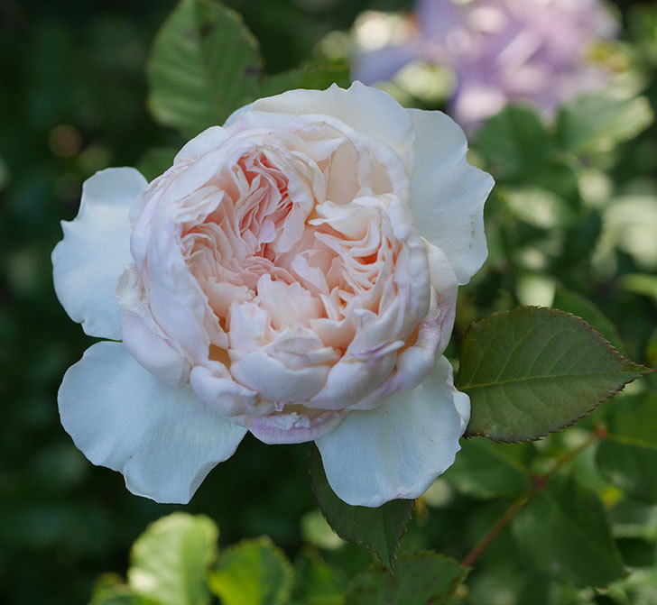 クイーン-オブ-ジ-エルブス(半ツルバラ)の花が咲いた。2020年-1.jpg