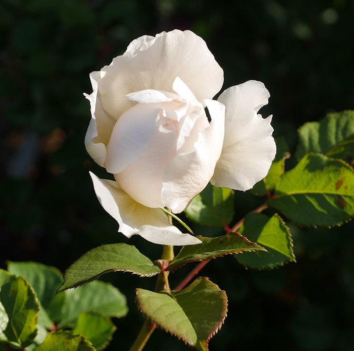 クイーン-オブ-ジ-エルブス(半ツルバラ)の花が咲きだした。2020年-1.jpg