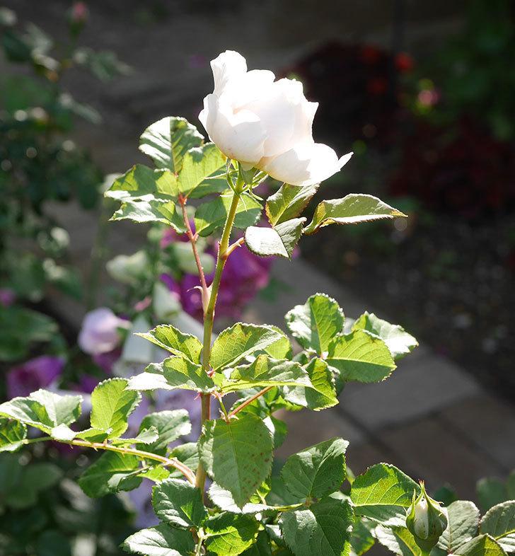 クイーン-オブ-ジ-エルブス(半ツルバラ)の花が咲きだした。2020年-2.jpg