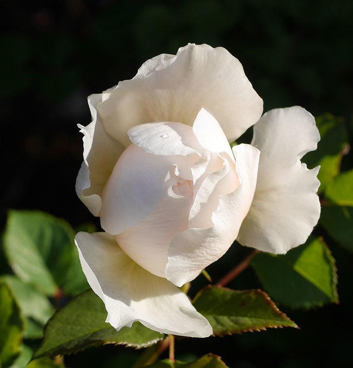 クイーン-オブ-ジ-エルブス(半ツルバラ)の花が咲きだした。2020年-3.jpg