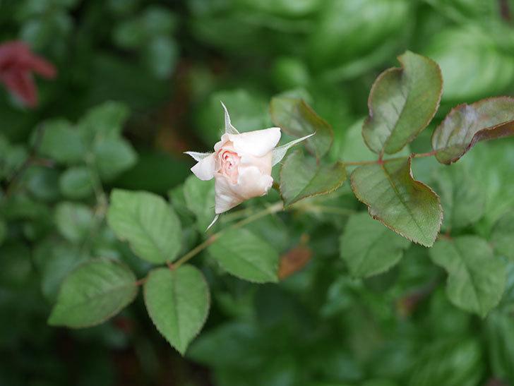 クイーン オブ ジ エルブス(Queen of the Elves)の2番花が少し咲いた。半ツルバラ。2020年-005.jpg