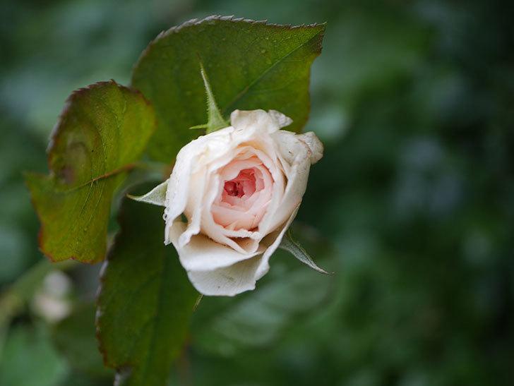 クイーン オブ ジ エルブス(Queen of the Elves)の2番花が少し咲いた。半ツルバラ。2020年-006.jpg