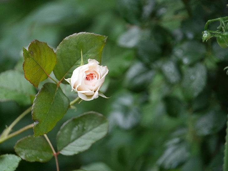 クイーン オブ ジ エルブス(Queen of the Elves)の2番花が少し咲いた。半ツルバラ。2020年-007.jpg