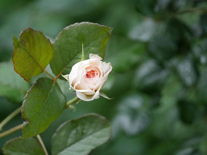 クイーン オブ ジ エルブス(Queen of the Elves)の2番花が少し咲いた。半ツルバラ。2020年-008.jpg