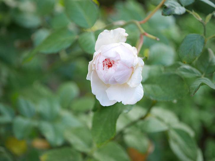 クイーン オブ ジ エルブス(Queen of the Elves)の秋花がまた1個咲いた。半ツルバラ。2020年-002.jpg