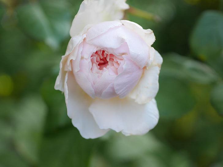 クイーン オブ ジ エルブス(Queen of the Elves)の秋花がまた1個咲いた。半ツルバラ。2020年-004.jpg