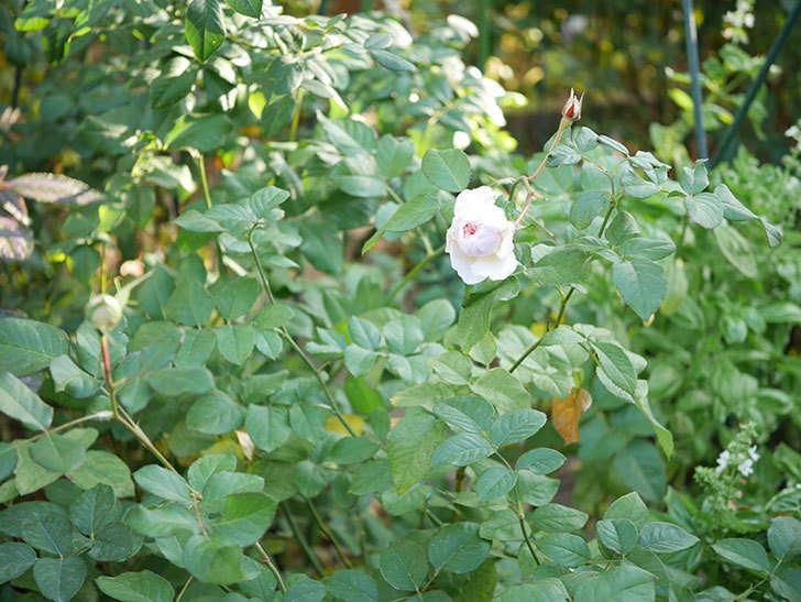 クイーン オブ ジ エルブス(Queen of the Elves)の秋花がまた1個咲いた。半ツルバラ。2020年-006.jpg
