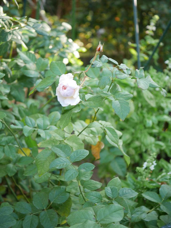 クイーン オブ ジ エルブス(Queen of the Elves)の秋花がまた1個咲いた。半ツルバラ。2020年-007.jpg
