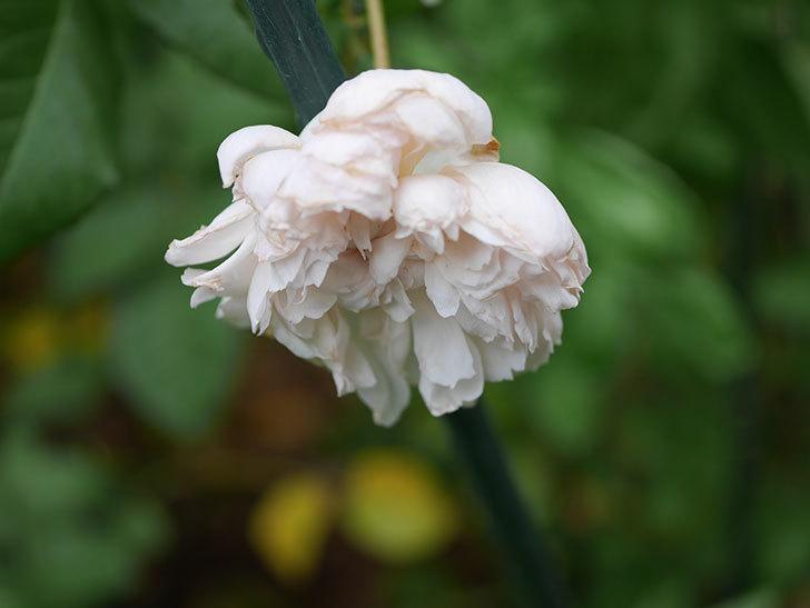 クイーン オブ ジ エルブス(Queen of the Elves)の秋花がまた1個咲いた。半ツルバラ。2020年-008.jpg