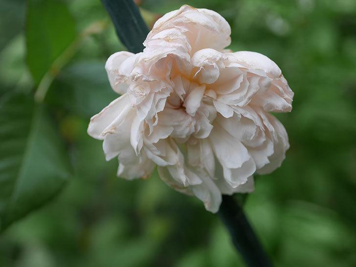 クイーン オブ ジ エルブス(Queen of the Elves)の秋花がまた1個咲いた。半ツルバラ。2020年-009.jpg