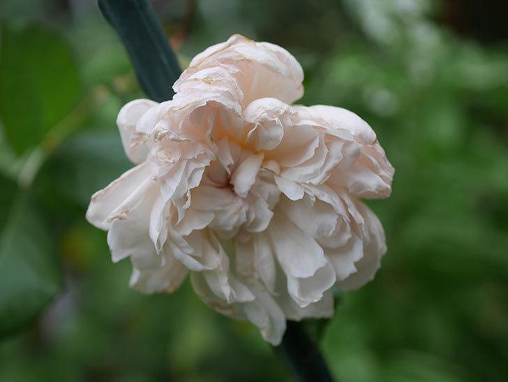 クイーン オブ ジ エルブス(Queen of the Elves)の秋花がまた1個咲いた。半ツルバラ。2020年-010.jpg