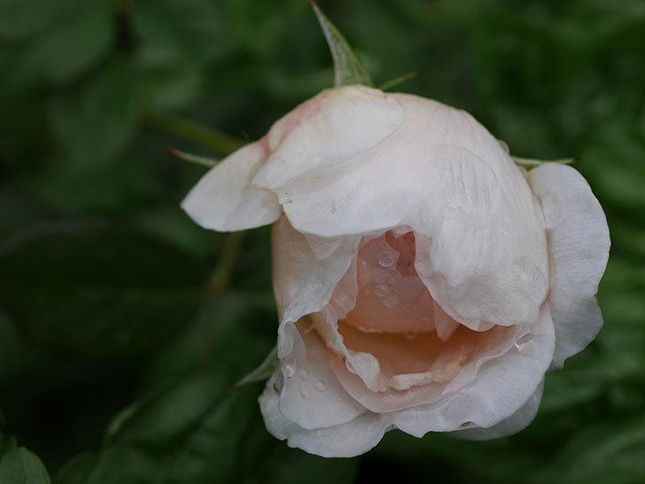 クイーン オブ ジ エルブス(Queen of the Elves)の秋花が咲いた。半ツルバラ。2020年-003.jpg