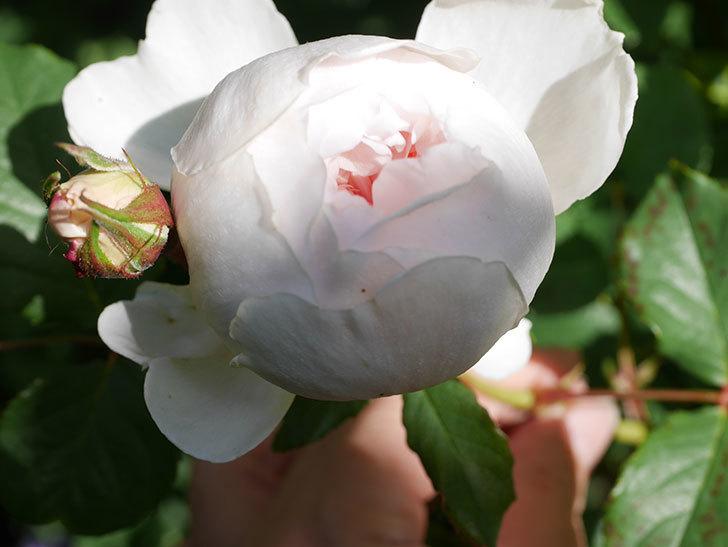 クイーン オブ ジ エルブス(Queen of the Elves)の花が咲いた。半ツルバラ。2021年-005.jpg