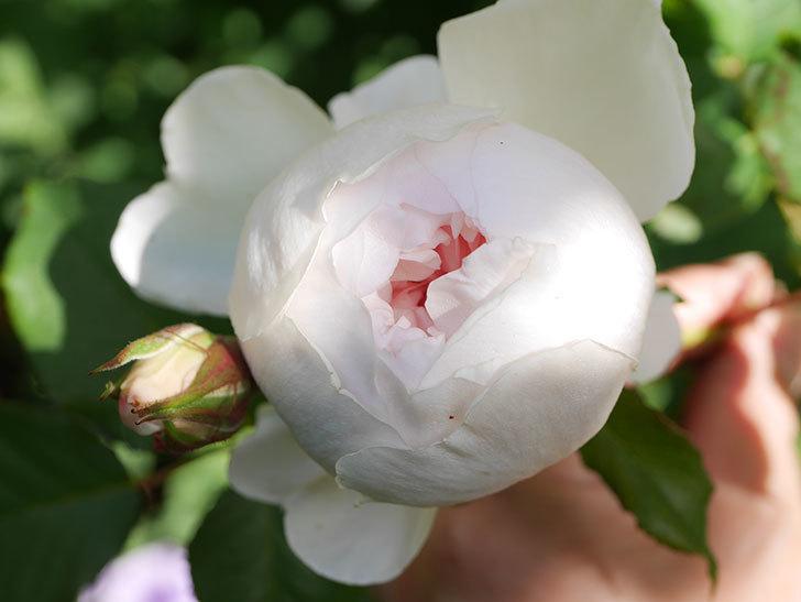 クイーン オブ ジ エルブス(Queen of the Elves)の花が咲いた。半ツルバラ。2021年-007.jpg