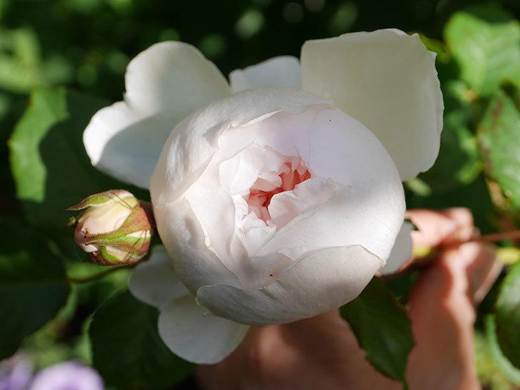 クイーン オブ ジ エルブス(Queen of the Elves)の花が咲いた。半ツルバラ。2021年-008.jpg