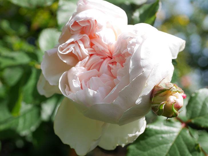 クイーン オブ ジ エルブス(Queen of the Elves)の花が咲いた。半ツルバラ。2021年-016.jpg