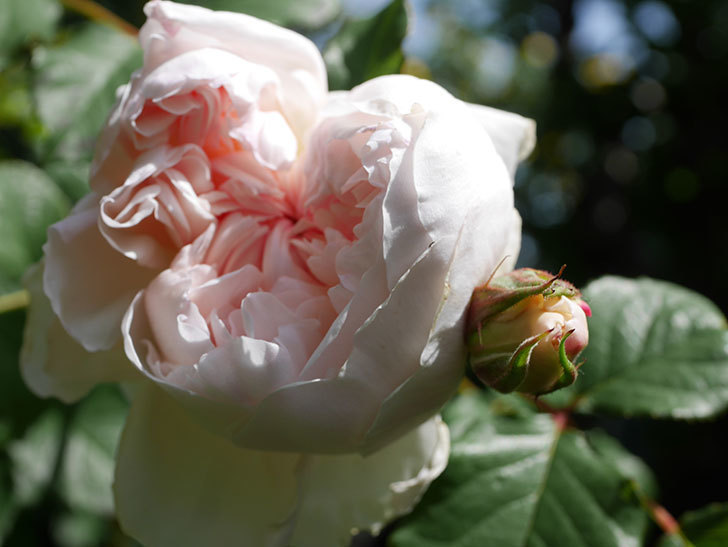 クイーン オブ ジ エルブス(Queen of the Elves)の花が咲いた。半ツルバラ。2021年-022.jpg