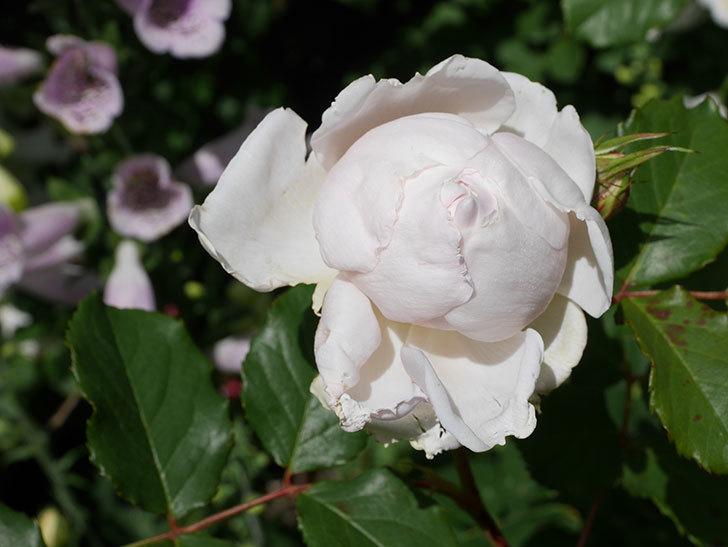 クイーン オブ ジ エルブス(Queen of the Elves)の花が咲いた。半ツルバラ。2021年-025.jpg