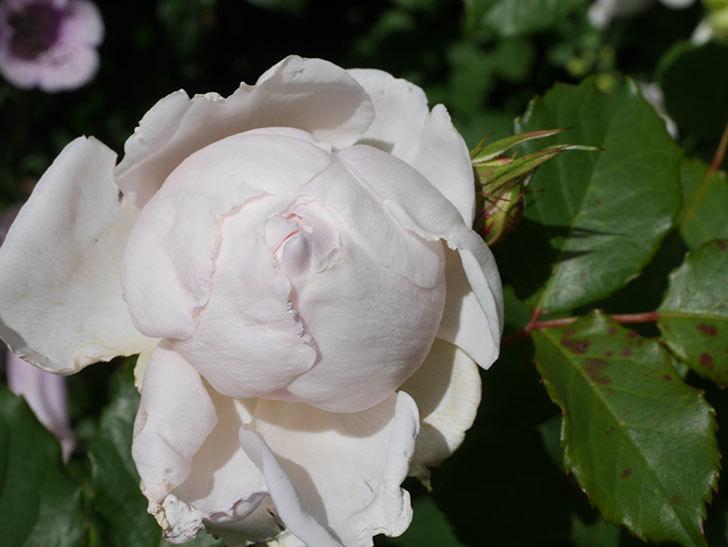 クイーン オブ ジ エルブス(Queen of the Elves)の花が咲いた。半ツルバラ。2021年-026.jpg