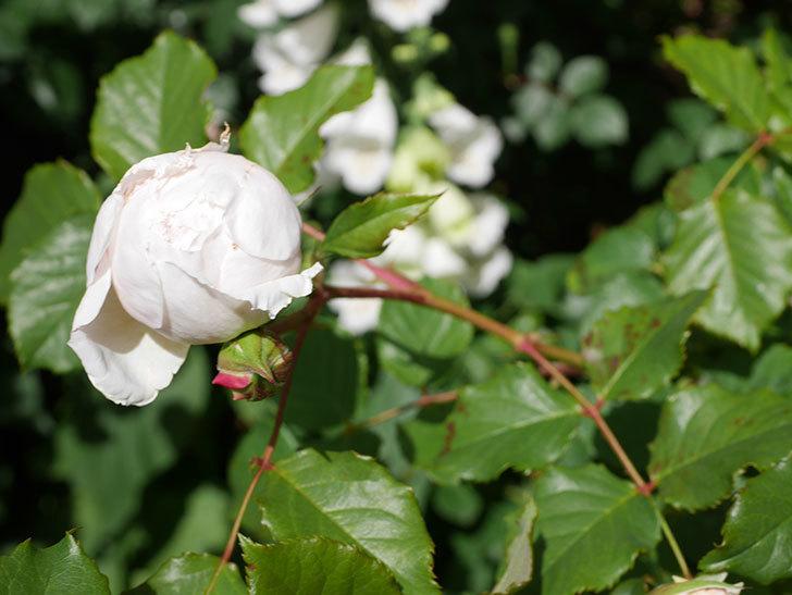 クイーン オブ ジ エルブス(Queen of the Elves)の花が咲いた。半ツルバラ。2021年-027.jpg
