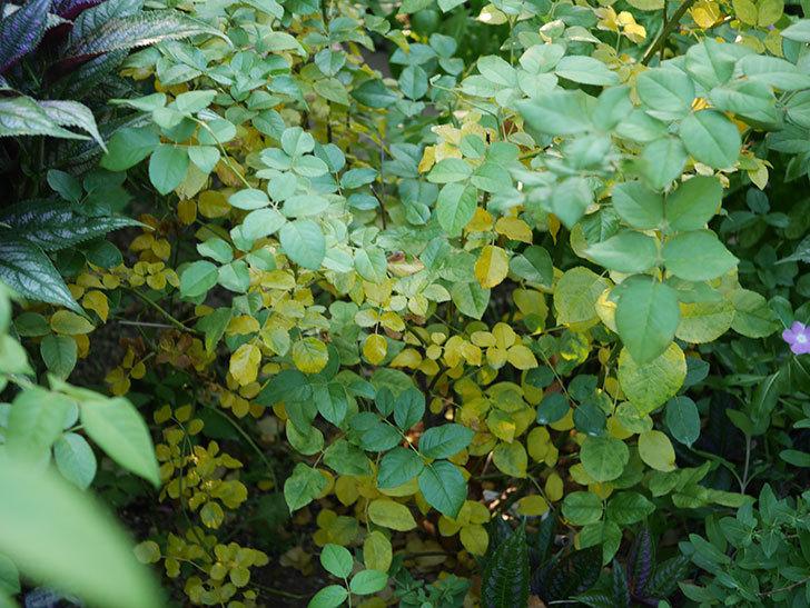 クイーン オブ ジ エルブス(Queen of the Elves)の葉が大量に黄色くなってきた。2020年-001.jpg