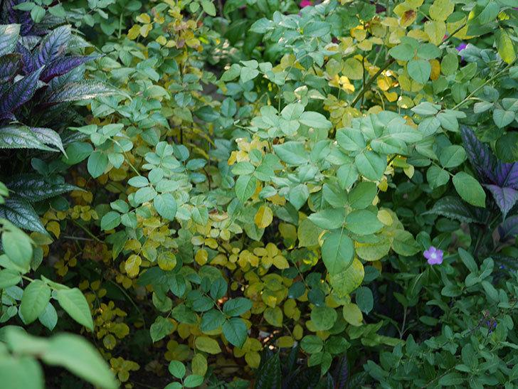 クイーン オブ ジ エルブス(Queen of the Elves)の葉が大量に黄色くなってきた。2020年-002.jpg