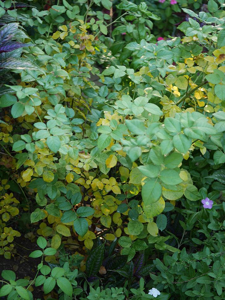 クイーン オブ ジ エルブス(Queen of the Elves)の葉が大量に黄色くなってきた。2020年-003.jpg