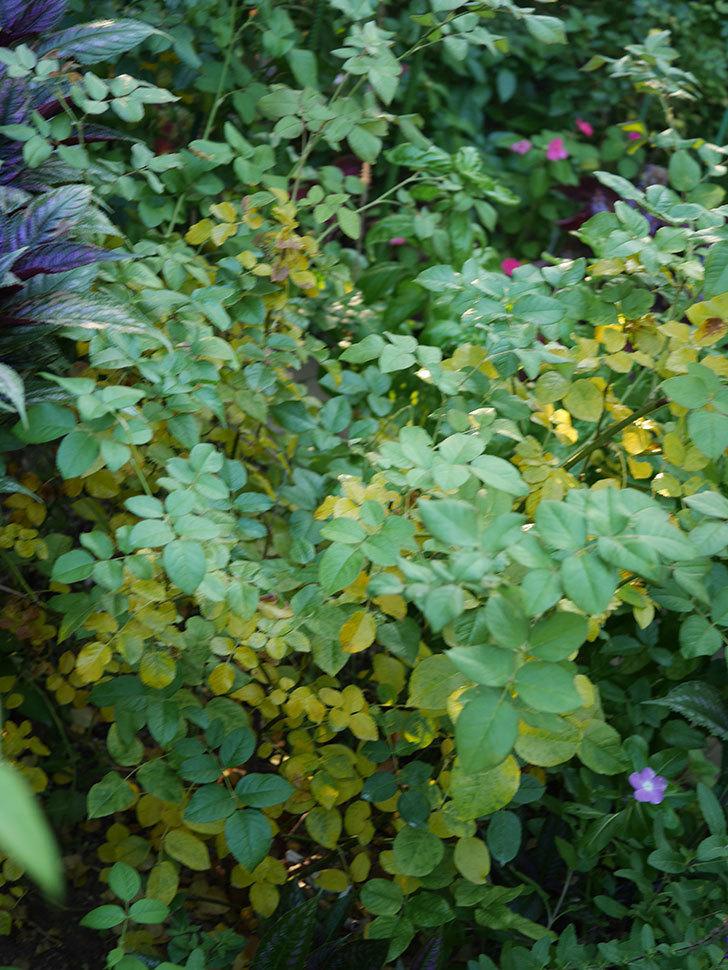 クイーン オブ ジ エルブス(Queen of the Elves)の葉が大量に黄色くなってきた。2020年-004.jpg
