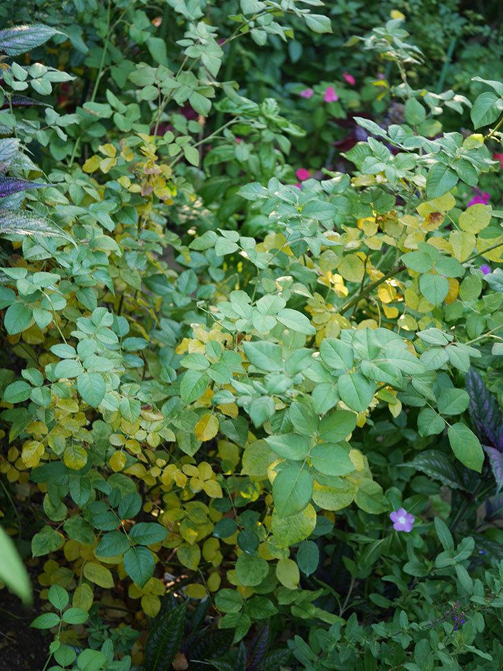 クイーン オブ ジ エルブス(Queen of the Elves)の葉が大量に黄色くなってきた。2020年-005.jpg
