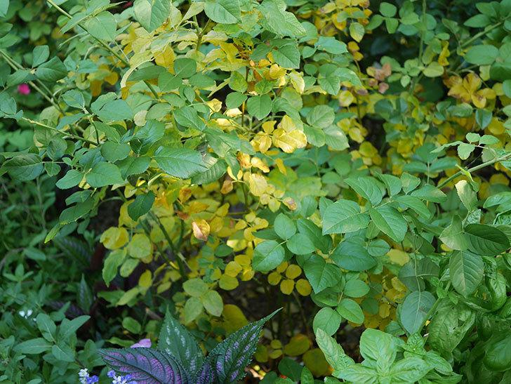 クイーン オブ ジ エルブス(Queen of the Elves)の葉が大量に黄色くなってきた。2020年-006.jpg