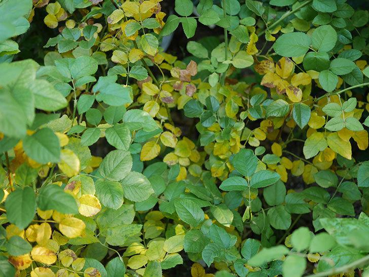 クイーン オブ ジ エルブス(Queen of the Elves)の葉が大量に黄色くなってきた。2020年-007.jpg