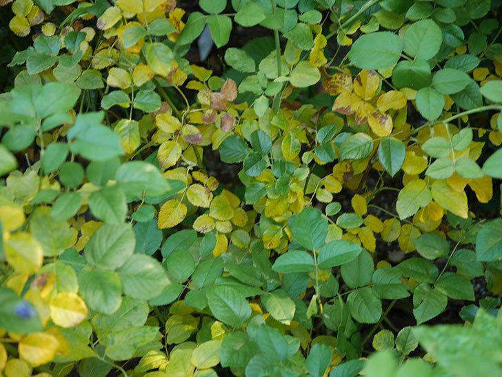 クイーン オブ ジ エルブス(Queen of the Elves)の葉が大量に黄色くなってきた。2020年-008.jpg